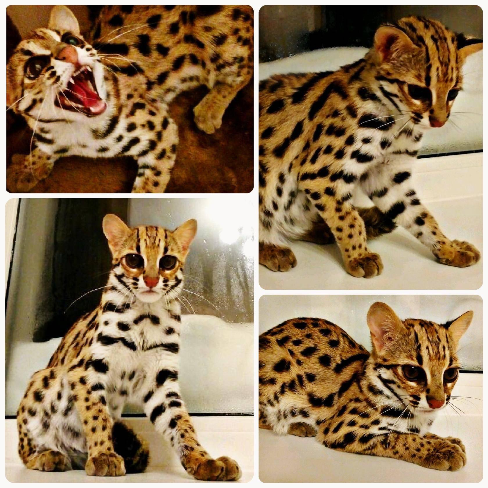 Леопардовая кошка: описание породы, характер, фото и цена