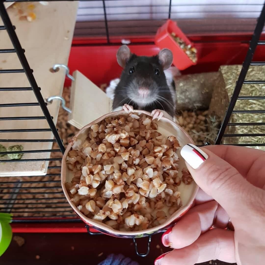 Чем питаются дикие и домашние крысы, какая еда опасна для них?