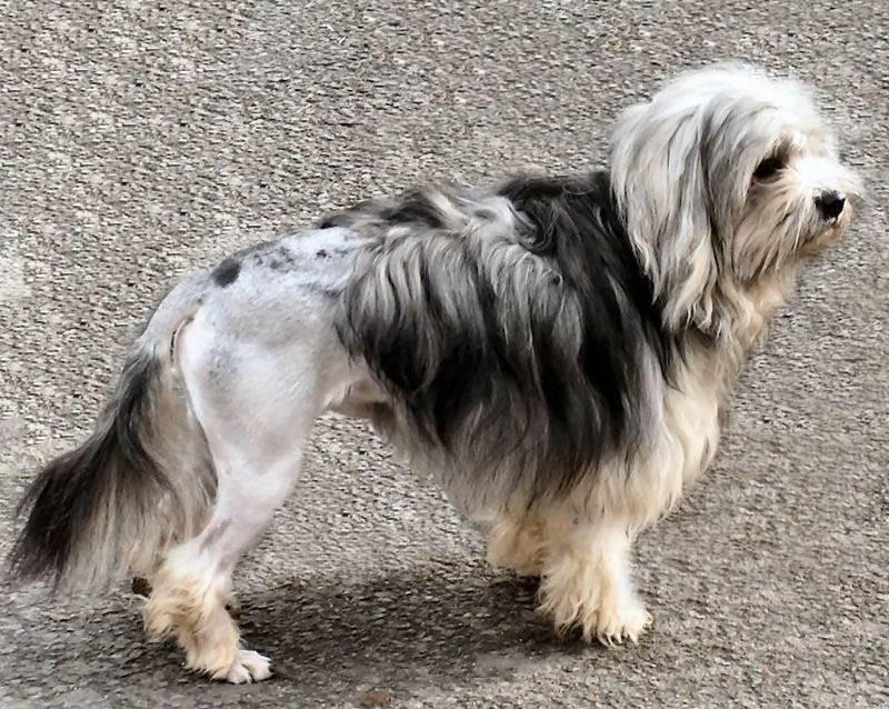 Малая львинная собака (петит шьен лион, лион бишон, левхен)