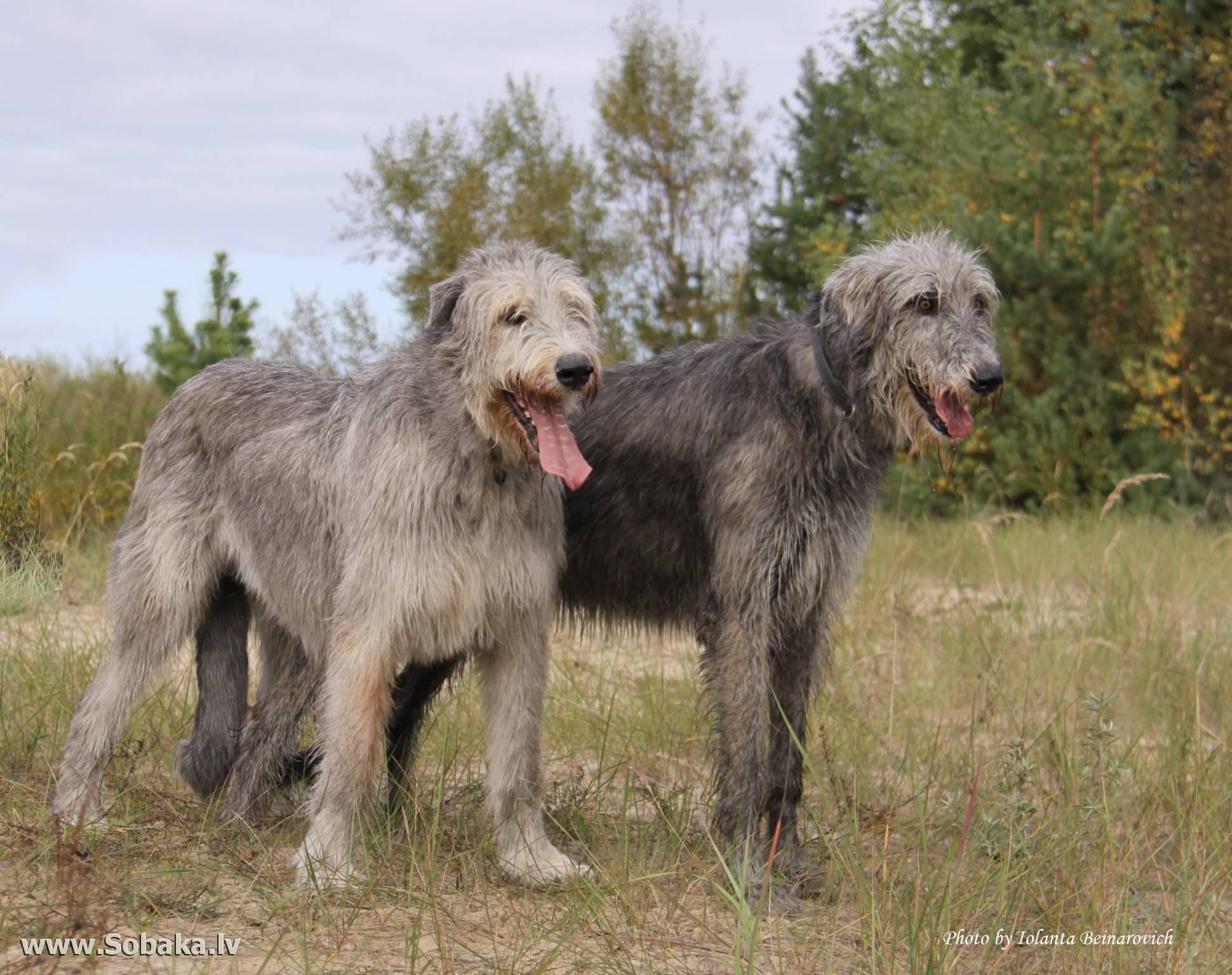 Гампр - армянский волкодав собака. описание, особенности, уход и цена гампра | sobakagav.ru