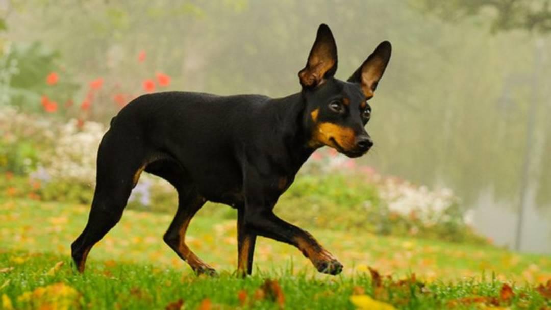 Манчестер-терьер: описание породы, характер, фото   все о собаках