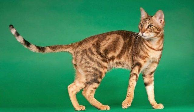 Сококе (соукок): фото кошки, цена, характер породы, описание, видео сококе (соукок): фото кошки, цена, характер породы, описание, видео