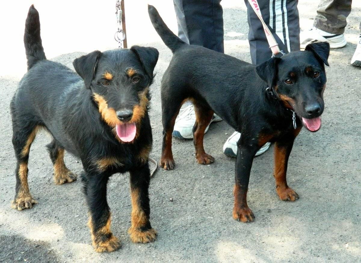 Ягдтерьер (63 фото): особенности немецкой охотничьей породы собак, содержание щенков. разновидности. описание характера