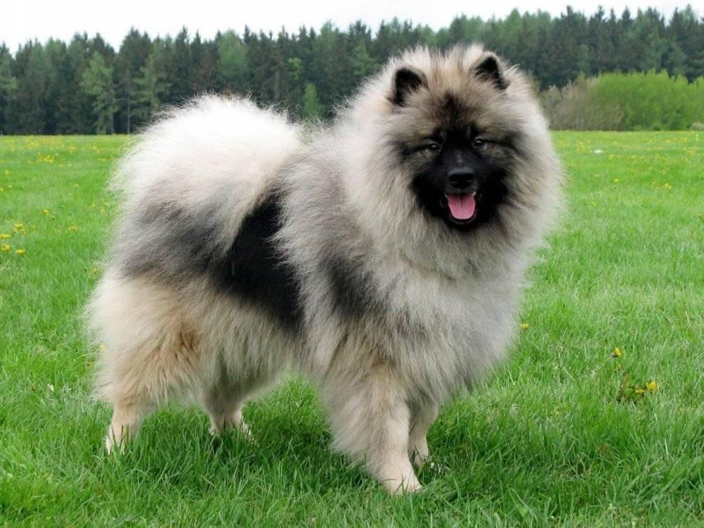 Вольфшпиц – немецкая порода: внешний вид и поведение собаки, особенности содержания, ухода и дрессировки