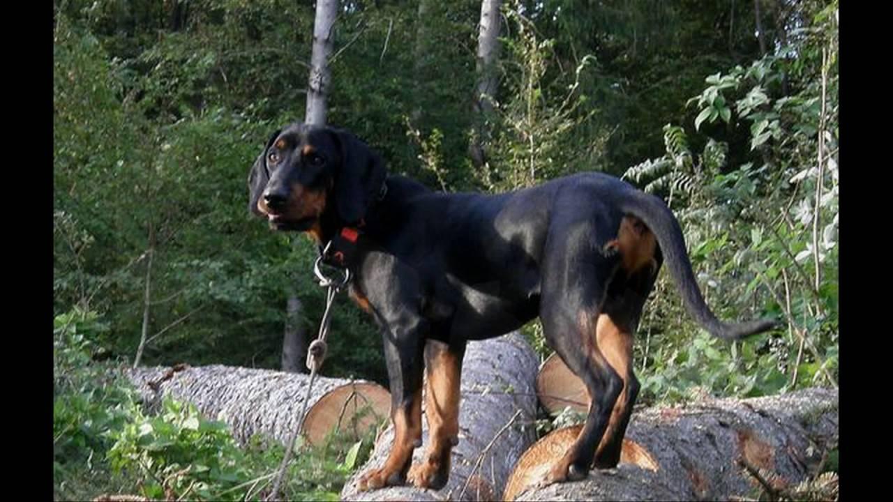 Характеристика австрийского брандл бракка: стоимость щенка