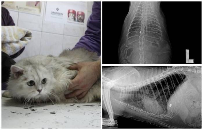 Гидроторакс у кошек, причины и лечение водянки | ветклиника берлога