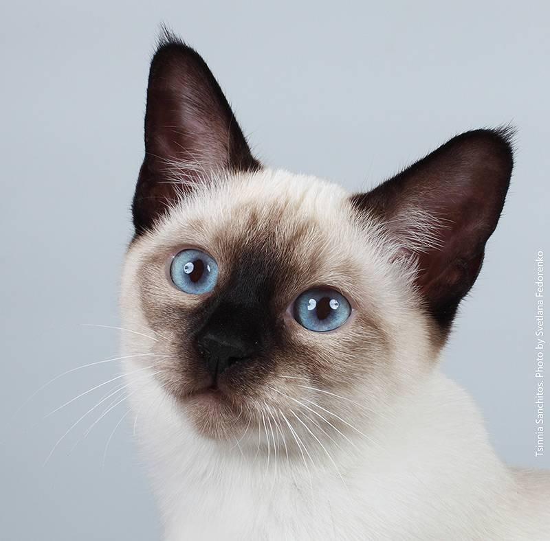 Сиамская кошка с фото, характер сиамских кошек и описание породы