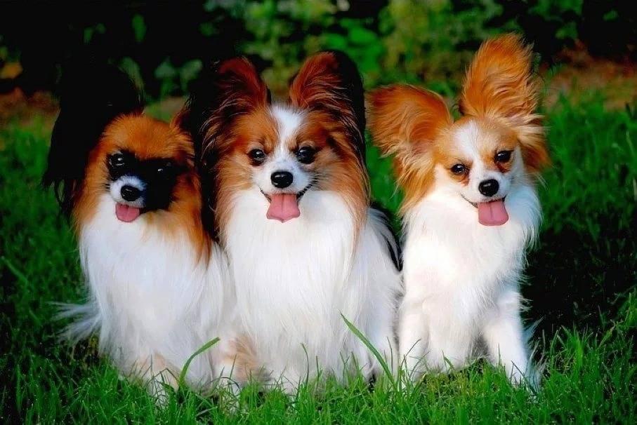 Обзор породы собак папильон: стандарт, уход, фото питомцев и отзывы владельцев
