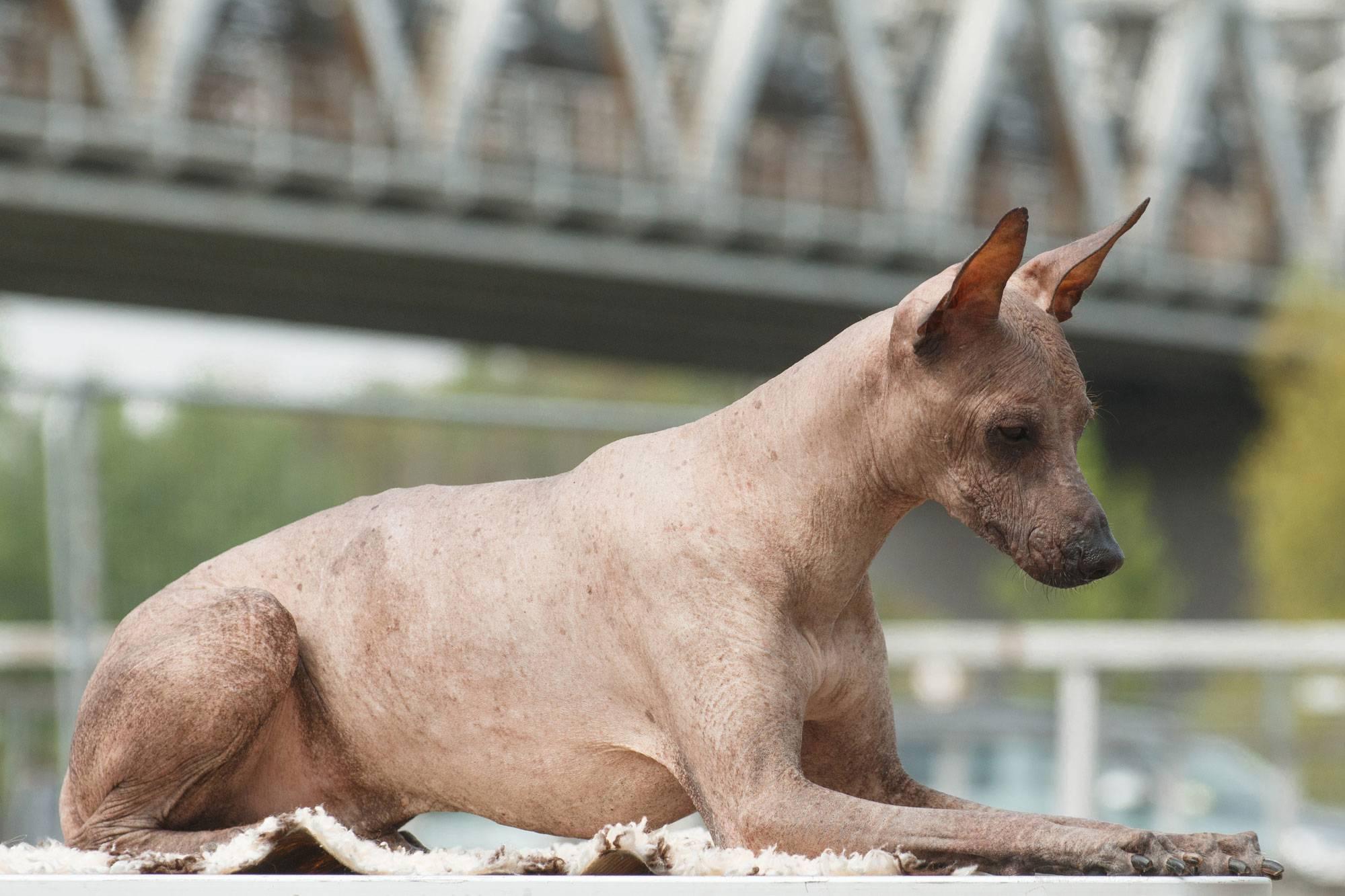 Перуанская голая. о породе собак: описание породы перуанская голая, цены, фото, уход