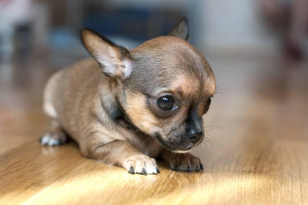 Самые маленькие породы собак в мире. фото и описание