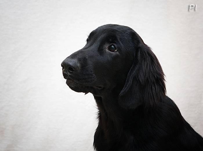 Прямошерстный ретривер: описание породы, болезни, плюсы и минусы, уход, характер, выбор щенка, фото и видео