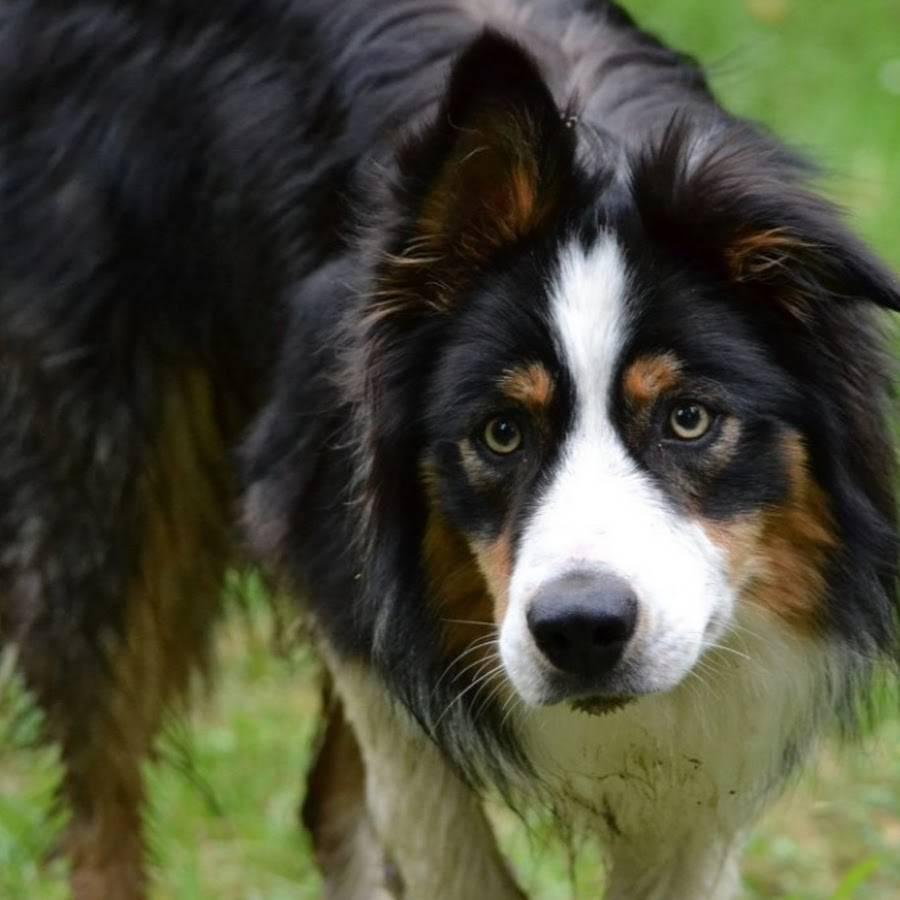 Восточно-европейская овчарка собака. описание, особенности, уход и цена породы