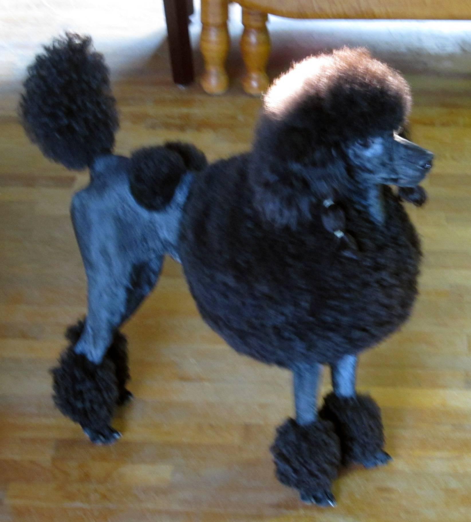 Пудельпоинтер (пудель-поинтер): описание породы собак с фото и видео