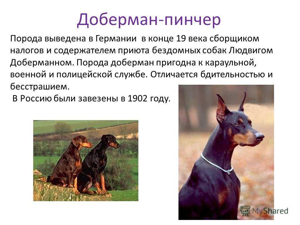 Немецкий пинчер – описание и характеристика породы собак (+ фото)