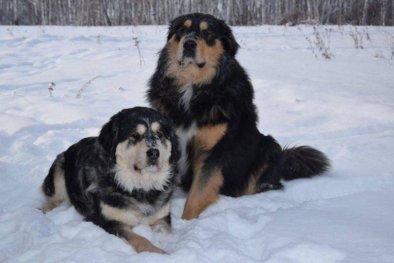 Бурят-монгольский волкодав (хотошо нохой)