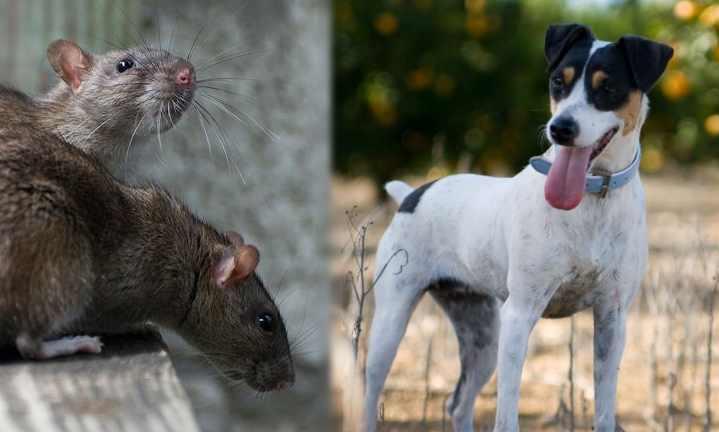 Прекрасные питомцы для дачи: 7 пород собак, которые ловят крыс