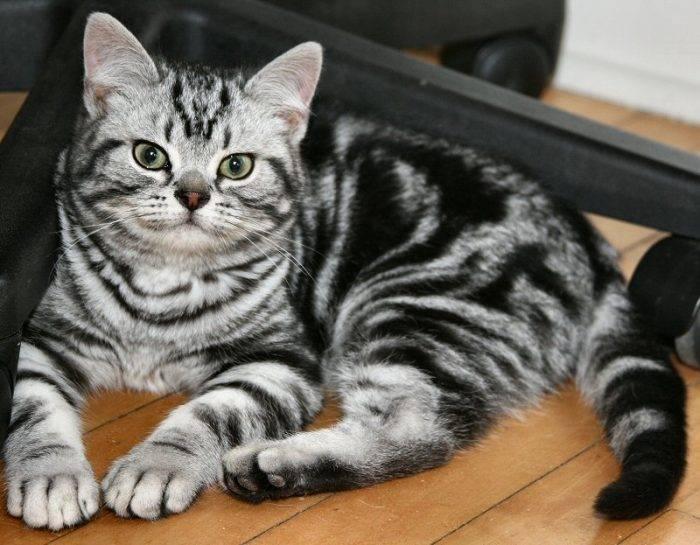 Окрас кошек табби.