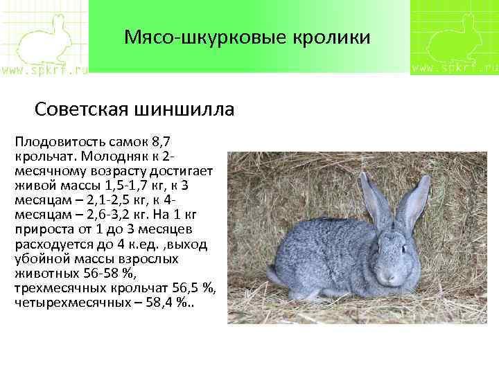 Кролик бельгийский великан — описание и фото, характеристика, разведение и содержание.   cельхозпортал