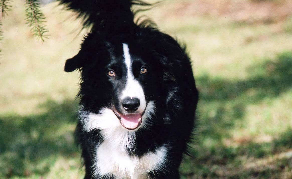 Самые умные породы собак