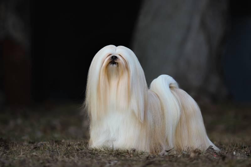 Лхаса апсо собака. описание, особенности, уход и цена лхаса апсо