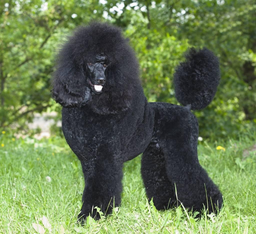 Черные собаки: особенности окраса и популярные породы