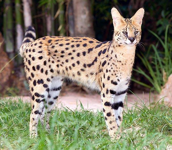 Африканская порода диких кошек- сервал: описание