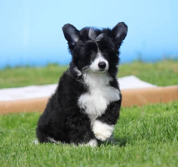 Алопекис — собака из древней греции