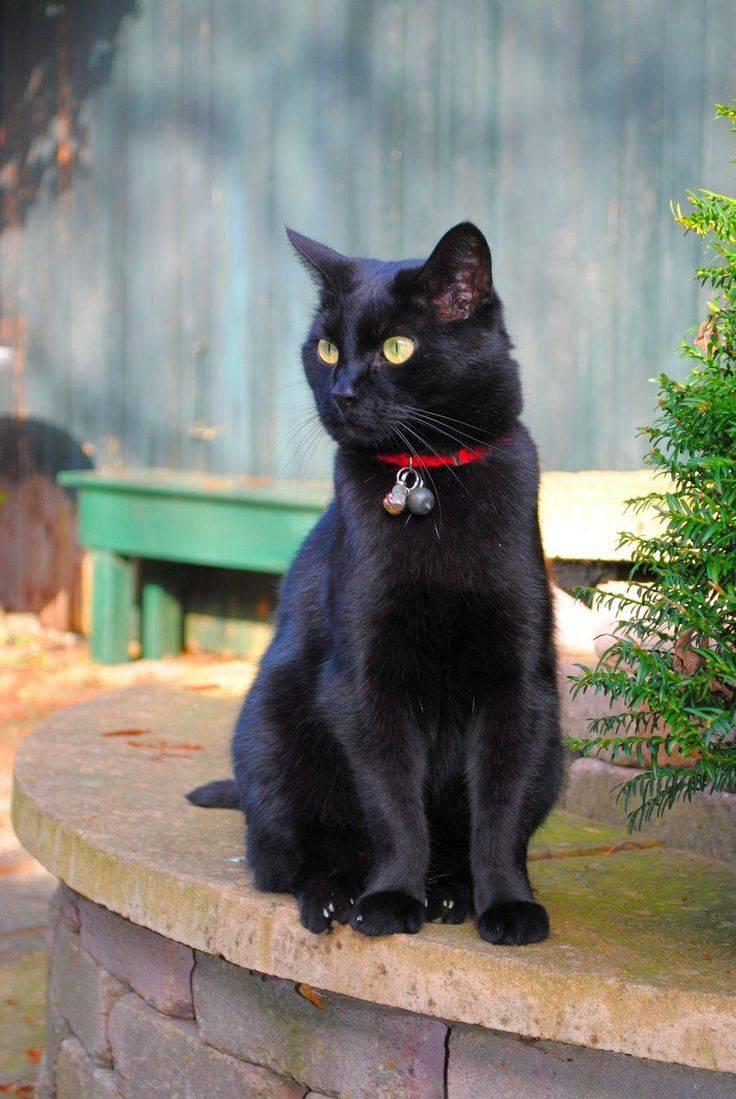 Бомбеи: черная кошка в темной комнате