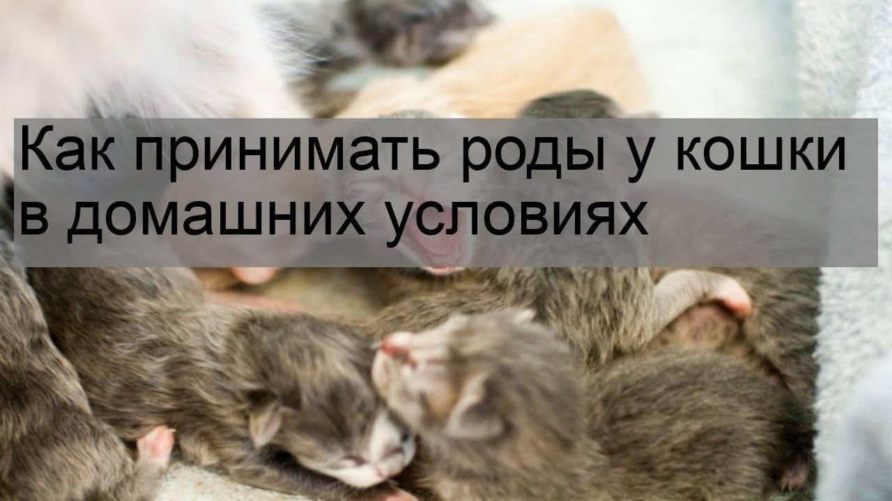 Как правильно принимать роды у кошки в домашних условиях — что делать, советы, видео