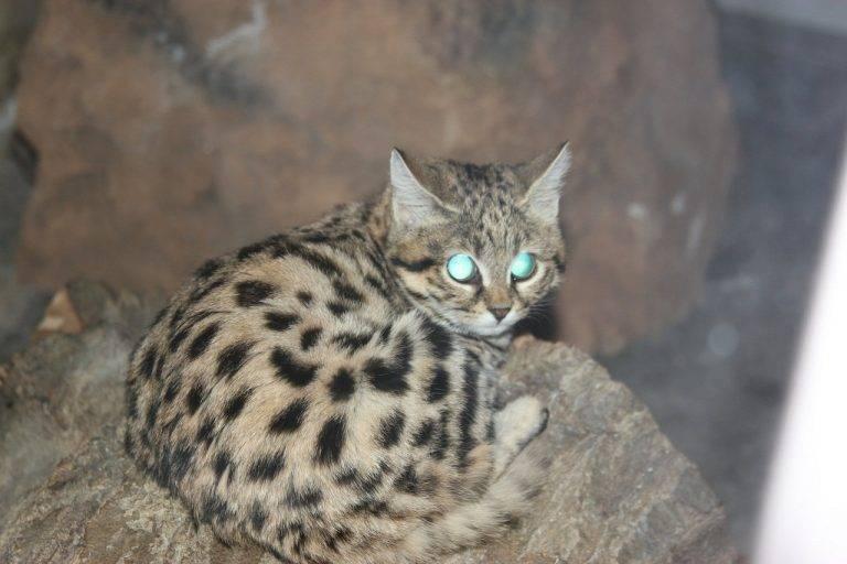 Черноногая кошка (африканский дикий кот): среда обитания, образ жизни и питание (+фото)