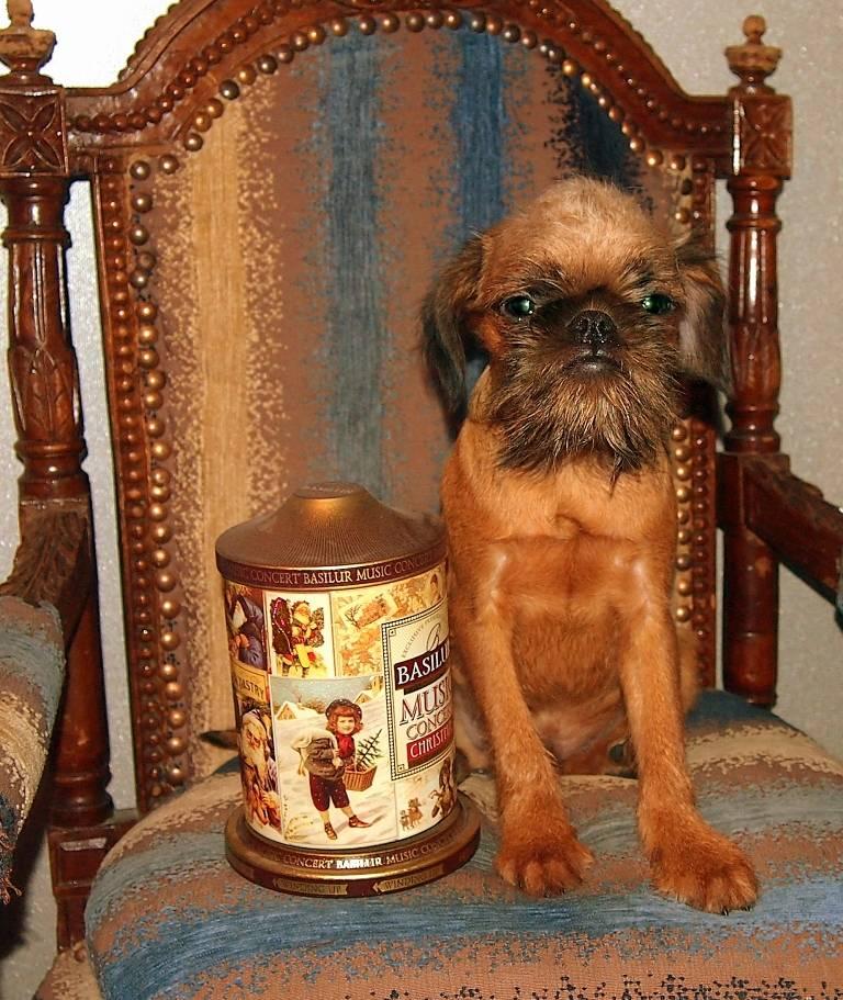 Собака брюссельский гриффон: уход и содержание, характерестики породы