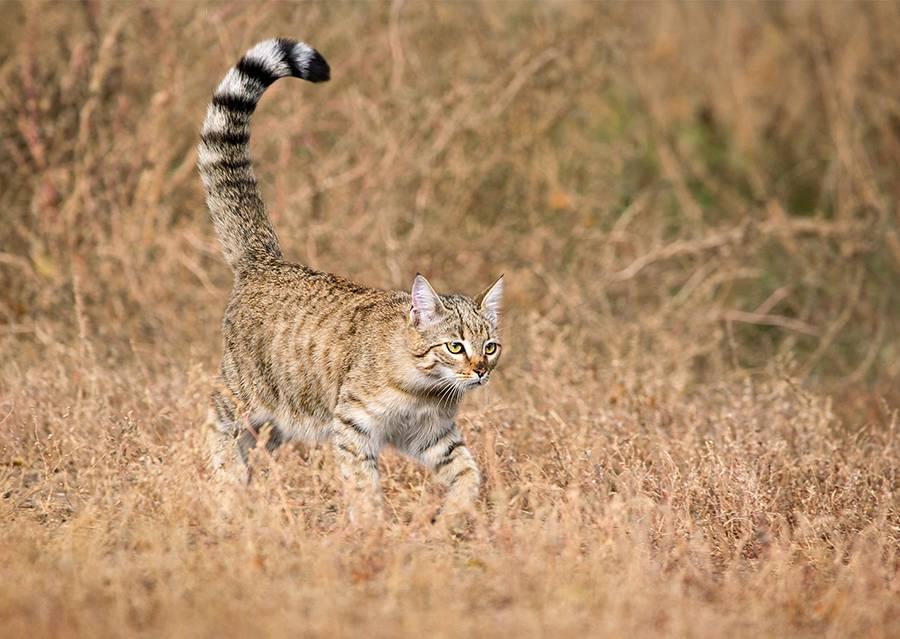 Степной кот: фото, описание, окрас, характер, среда обитания