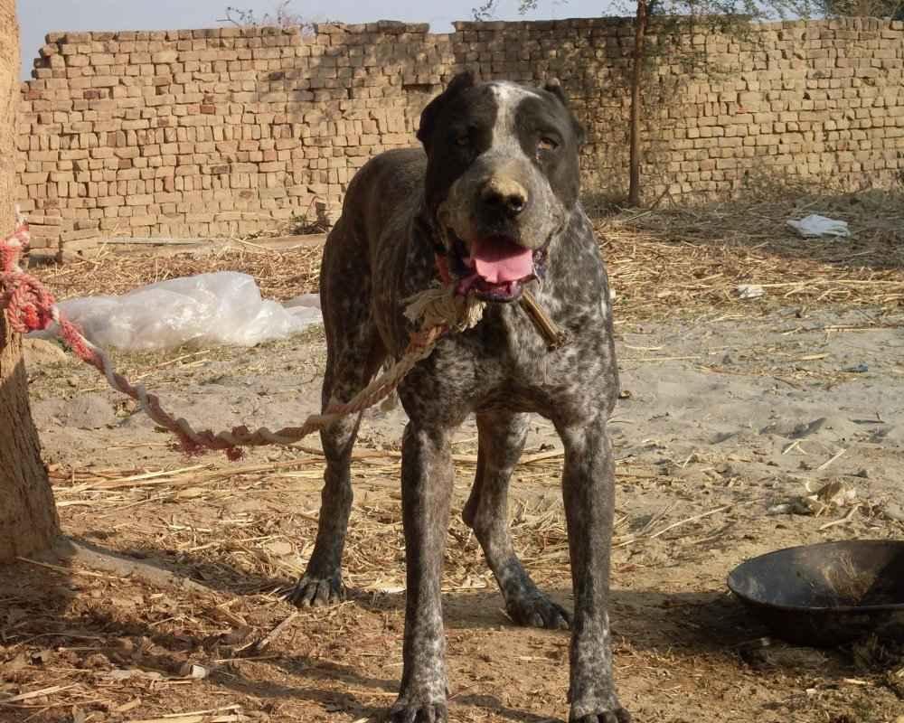 Порода собак пакистанский мастиф и ее характеристики с фото
