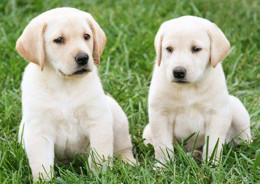 Лабрадор ретривер – энциклопедия о собаках