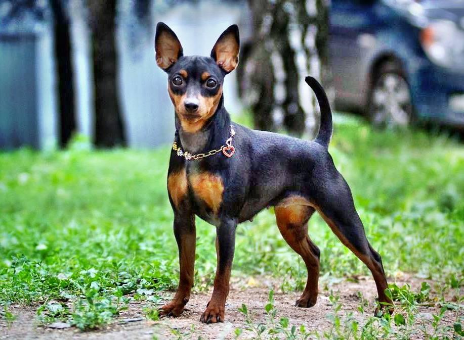 Цвергпинчер, описание породы, отзывы, правила ухода и выбора щенка