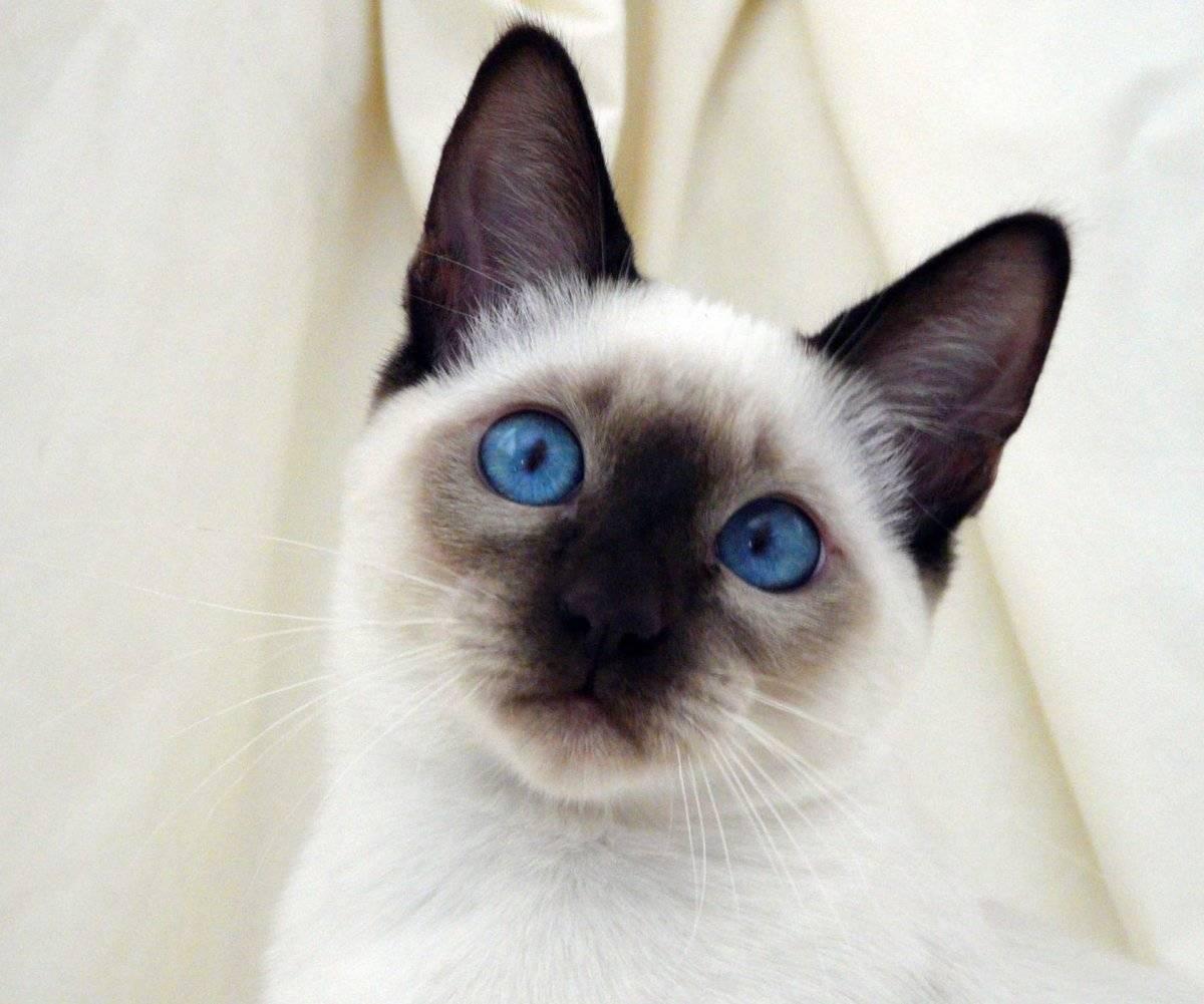 Уход за сиамской кошкой — основные правила содержания