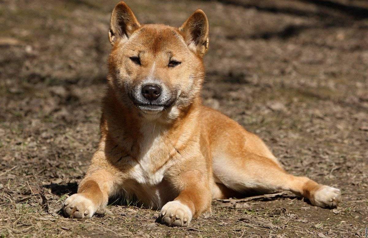 Ханаанская собака: описание породы собак с фото и видео