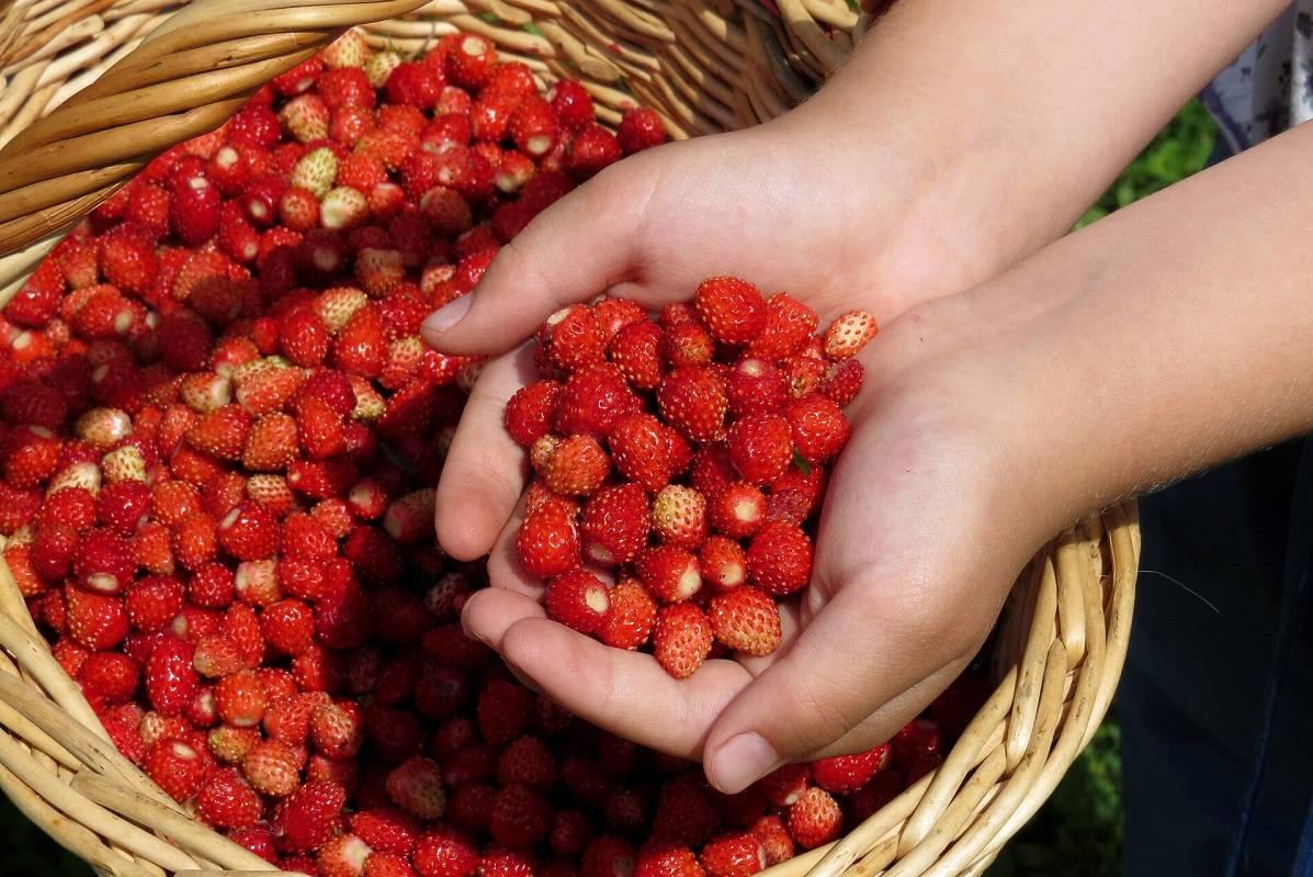 Абрикос - эта ягода таит в себе больше чем просто косточку: всё о ягоде