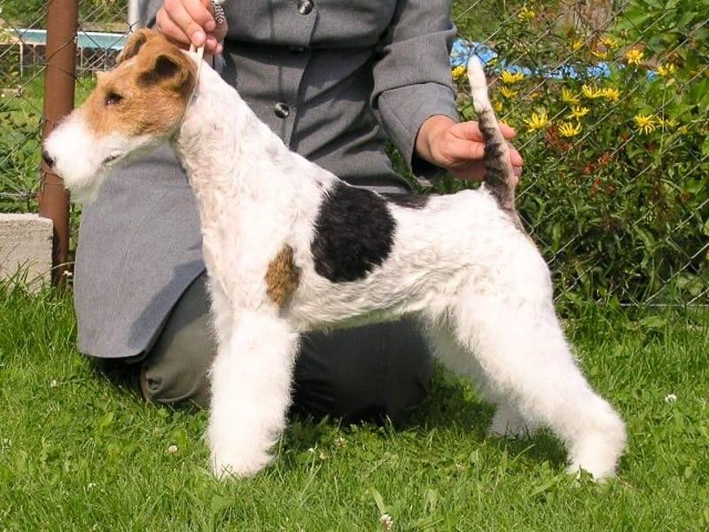 Фокстерьер: описание породы собак с фото и видео