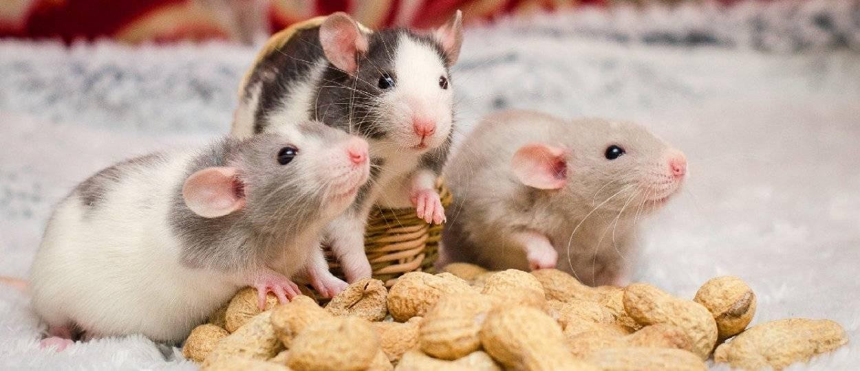 Мышь землеройка