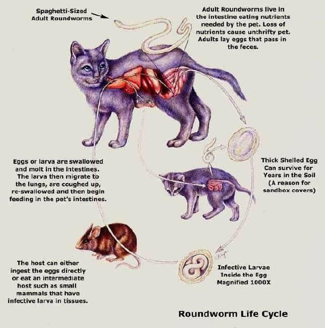 Опухоль молочных желез у кошки лечение - опухоли у кошек на животе