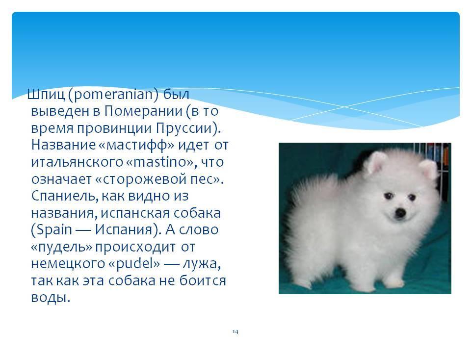 Белые шпицы (43 фото): особенности цвета шерсти у маленьких щенков и больших собак. как назвать взрослого шпица-мальчика и девочку?