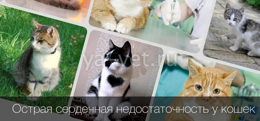 Почечная недостаточность у кошек: симптомы, лечение, правильное питание