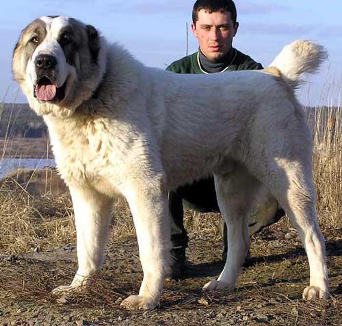 Ирландский волкодав собака. описание, особенности, уход и цена породы