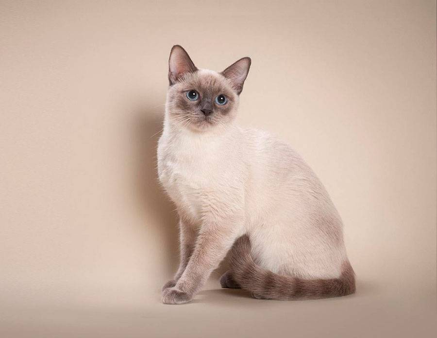 Тайская порода кошек: описание характера и внешнего вида