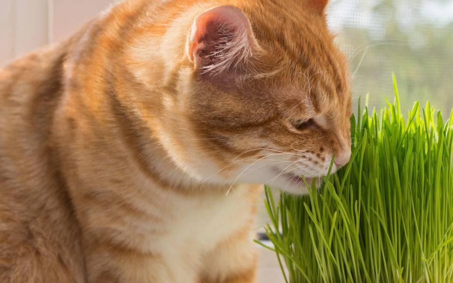 Какую траву любят и едят кошки