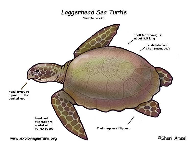 Экологическое занятие в старшей группе «для чего черепахе панцирь?»