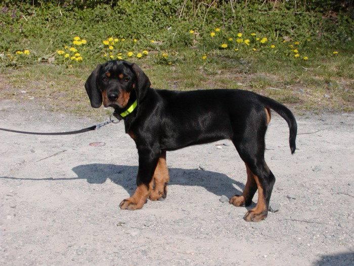 Австрийская гончая (брандлбракк): описание породы собак с фото и видео