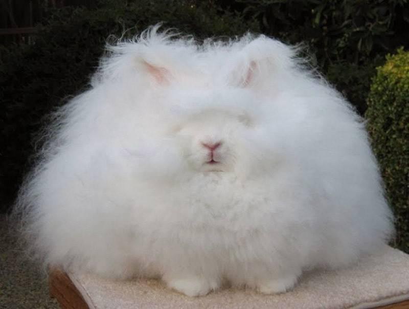 Ангорские кролики: интересные факты, описание породы (английские, французские), уход, сколько живе, разведение, как стригут шерсть