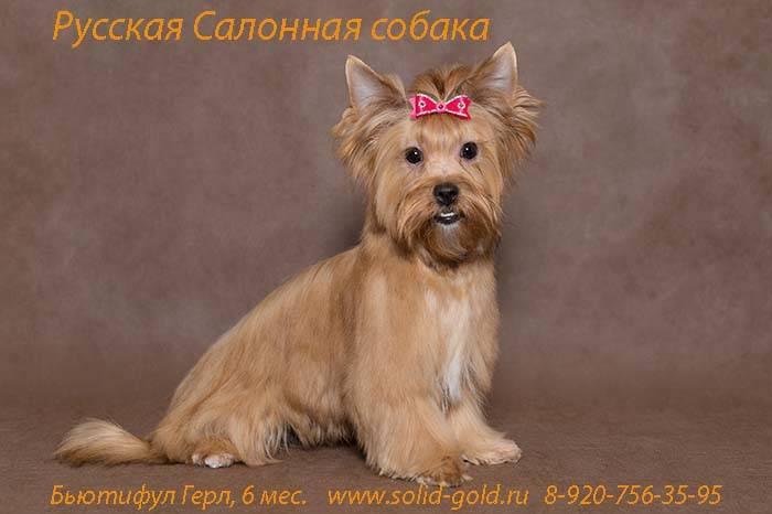 Wikizero - русская салонная собака